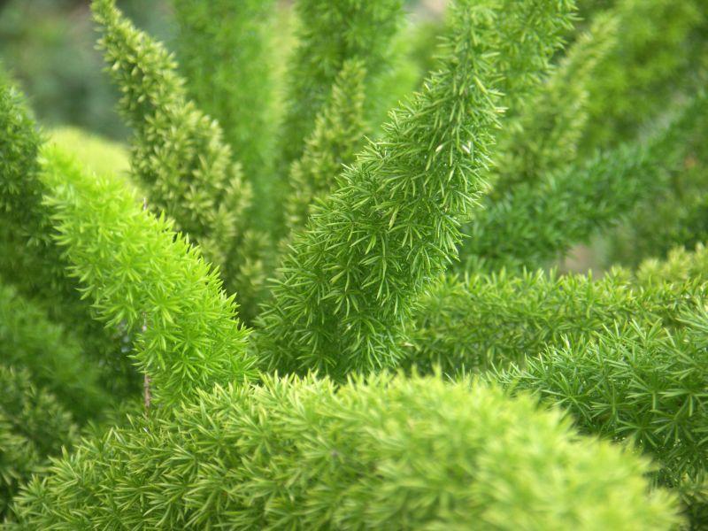 Asparagus Uprawa I Pielęgnacja Kwiaty Na Stanowisko Półcieniste
