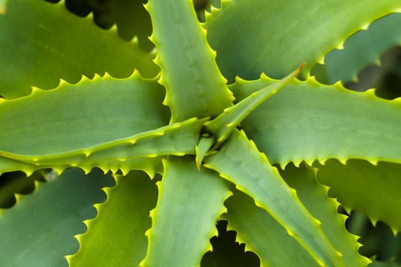 Inteligentny Aloes zwyczajny (Aloe Vera) - Kwiaty na stanowisko jasne - Kwiaty UR84