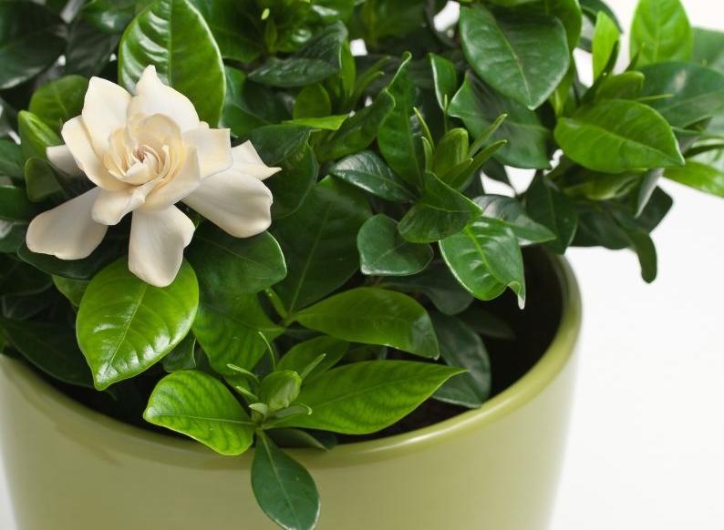 Rośliny Doniczkowe Kwitnące Zimą Ciekawostki Kwiaty Doniczkowe